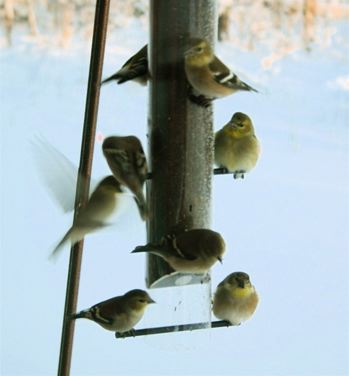 The other bird feeder has sunflowers, but it only gets business if the ...